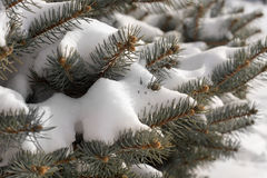 Snow-covered pine tree branches. Closeup background view of snow-covered evergreen pine tree branches and needles on a cold winter day Stock Photography