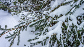 Snow covered pine tree branches Royalty Free Stock Photo