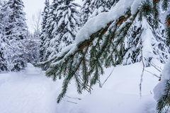 Snow covered pine tree branches Stock Images