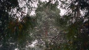 Snow covered pine tree, flying snow, the wind shakes the branches of spruce. stock video