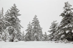 Snow covered pine tree fores Royalty Free Stock Image
