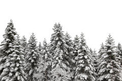Snow covered pine tree Royalty Free Stock Image