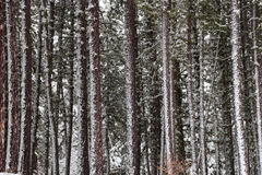Snow covered pine tree forest Stock Image