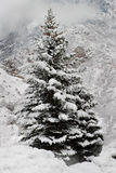 A Snow-Covered Pine Tree in the Mountains. A majestic snow-covered pine tree with a background of mountains, clouds and snow Stock Photos