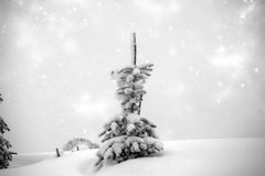 Snow covered pine tree in the mountains Royalty Free Stock Image