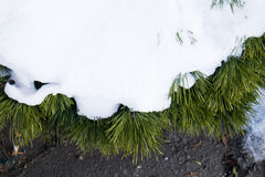 Snow covered pine tree. Pine tree covered by powder snow Royalty Free Stock Photos