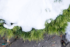 Snow covered pine tree. Pine tree covered by powder snow Stock Photo