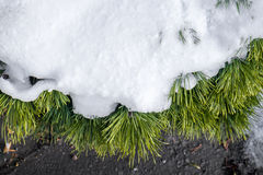 Snow covered pine tree Royalty Free Stock Images