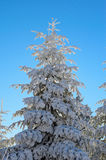 Snow covered pine tree in winter Royalty Free Stock Images