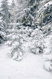 Snow-covered pine tree. Tree in the winter forest Royalty Free Stock Image