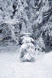 Snow-covered pine tree. Tree in the winter forest Royalty Free Stock Photo