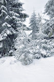 Snow-covered pine tree Royalty Free Stock Photos