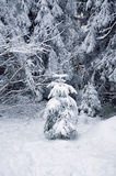 Snow-covered pine tree Royalty Free Stock Images