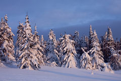 Snow-covered pine-trees. In the sunset illumination Royalty Free Stock Photo