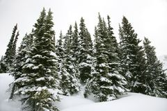 Snow-covered pine trees. Royalty Free Stock Photo