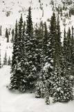 Snow-covered pine trees. Royalty Free Stock Photos