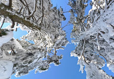 Snow covered pine trees Stock Photos