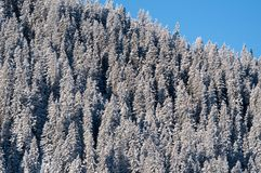 Snow covered pine trees Stock Images