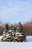 Snow covered pine trees Stock Photos
