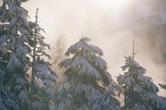 Snow covered pine trees Stock Image