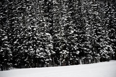 Snow-covered Pine Trees stock photos