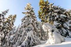 Snow covered pine trees in Carpathian mountains in winter sunny. Day Royalty Free Stock Photo