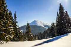 Snow covered pine trees in Carpathian mountains in winter sunny. Day Stock Image