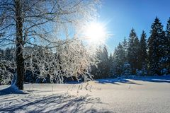 Snow Covered Pine Trees at Daytime Stock Image