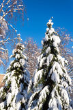 Snow Covered Pine Trees Stock Photography