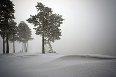 Snow covered pine trees in fog Royalty Free Stock Photo