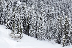 Snow covered pine trees forest. In winter stock image