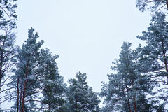 Snow-covered pine trees in the forest against the sky Stock Images
