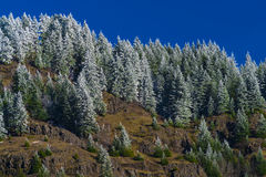 Snow covered pine trees Royalty Free Stock Images