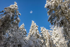 Snow covered pine trees, Gibbous moon, Kentucky Stock Photos