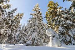 Snow covered pine trees in mountain forest in sunny day. Colorfu. L outdoor scene, Happy New Year and Merry Christmas celebration concept Stock Photography
