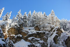 Snow-covered pine trees on the mountain Royalty Free Stock Photo