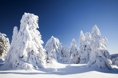 Snow covered pine trees in the mountains Royalty Free Stock Photo