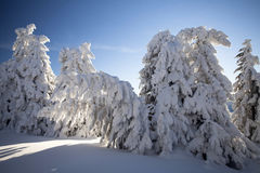 Snow covered pine trees in the mountains Royalty Free Stock Images