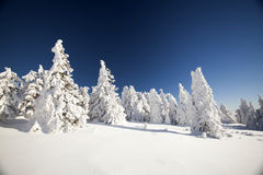 Snow covered pine trees in the mountains Royalty Free Stock Image