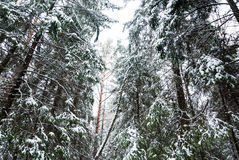 Snow-covered pine-trees. Snow-covered pine needles covered with frost Royalty Free Stock Images