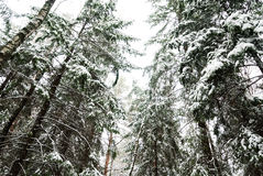 Snow-covered pine-trees. Snow-covered pine needles covered with frost Royalty Free Stock Photos