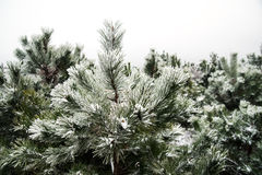 Snow-covered pine-trees. Snow-covered pine needles covered with frost Royalty Free Stock Image