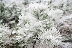 Snow-covered pine trees Stock Image