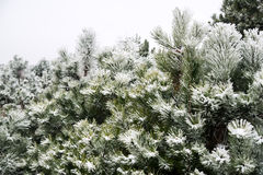 Snow-covered pine trees. Snow-covered pine needles covered with frost Stock Photography
