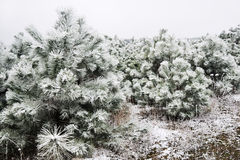 Snow-covered pine trees. Snow-covered pine needles covered with frost Royalty Free Stock Photography