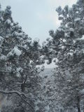 Snow-covered pine trees Stock Photography
