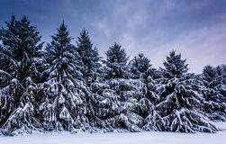 Snow-covered pine trees in rural Carroll County, Maryland. Royalty Free Stock Images