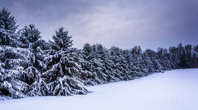 Snow-covered pine trees in rural Carroll County, Maryland. Stock Photo