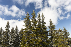 Snow covered pine trees in a sunny day Stock Image