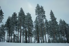 Snow-covered pine trees on top of a hill Royalty Free Stock Images